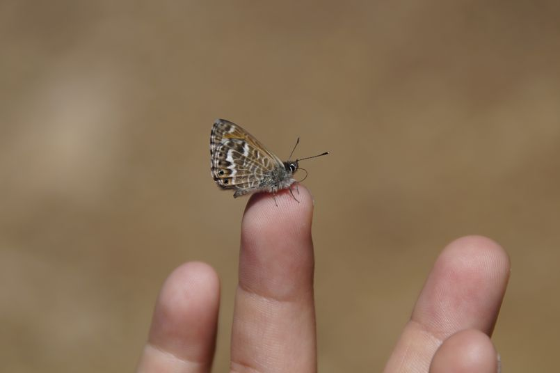 mariposa posada en la yema de un dedo